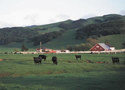 image of cows and a barn